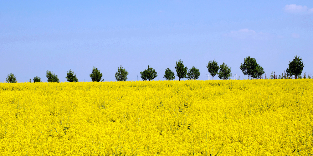 Blühendes Rapsfeld vor blauem Himmel, Bäumen und Windrädern