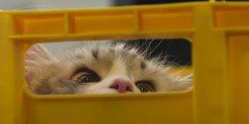 Katzenaugen hinter Schlitz in Kiste