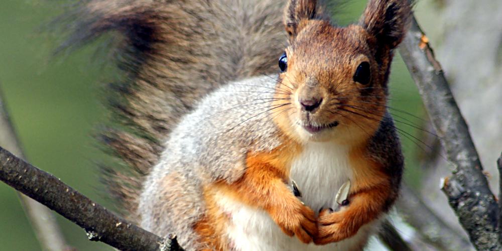 Eichhörnchen in Baum, Nahaufnahme