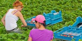 Erntehelferinnen bei der Erdbeerernte