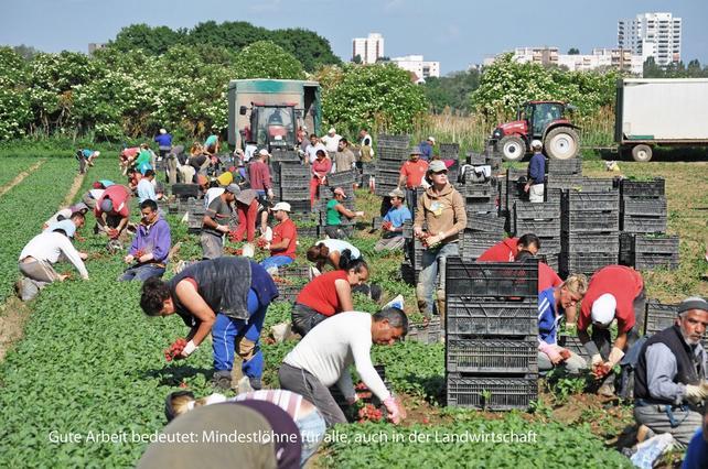 Saisonarbeiter auf dem Feld bei der Radieschenernte
